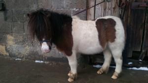 Pedro, das dicke Pony