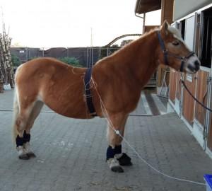 Ganzkörperbehandlung für den Stoffwechsel im ganzen Pferd